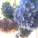 紫陽花をきれいにドライフラワーにする方法|しわしわになる失敗を防ぐ基本的な作り方とは