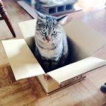 猫はどうして箱に入りたがるの?猫の箱好き4つの理由