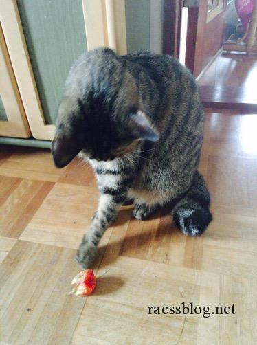 ほおずきをおもちゃに遊んじゃうよ(猫動画)