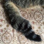日本猫にかぎしっぽ(尾曲猫)が多い理由|うちのかぎしっぽさんも紹介