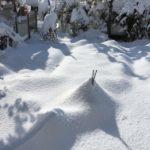 雪の下になったほうれん草と小松菜も食べられます|最終収穫!11/7