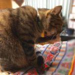 猫の毛づくろいには6つの意味があります(毛づくろいをサボりがちなうちの猫の動画あり)