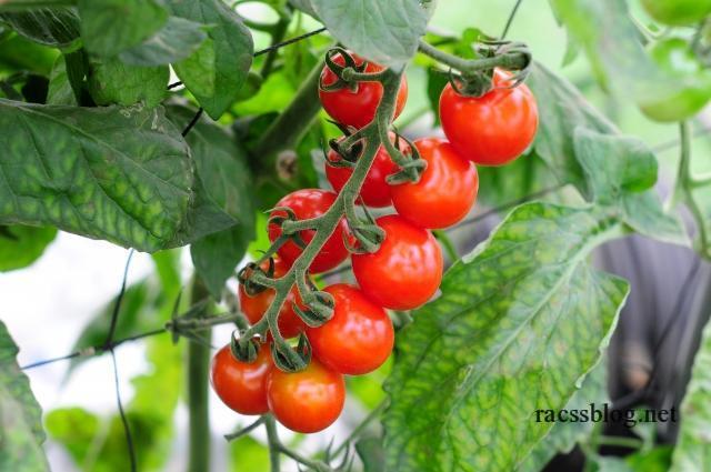 ミニトマトの育て方|北海道では植える時期と風よけがポイント