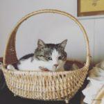 カゴ猫画像|北海道の6月は寒くてカゴが大人気なんです
