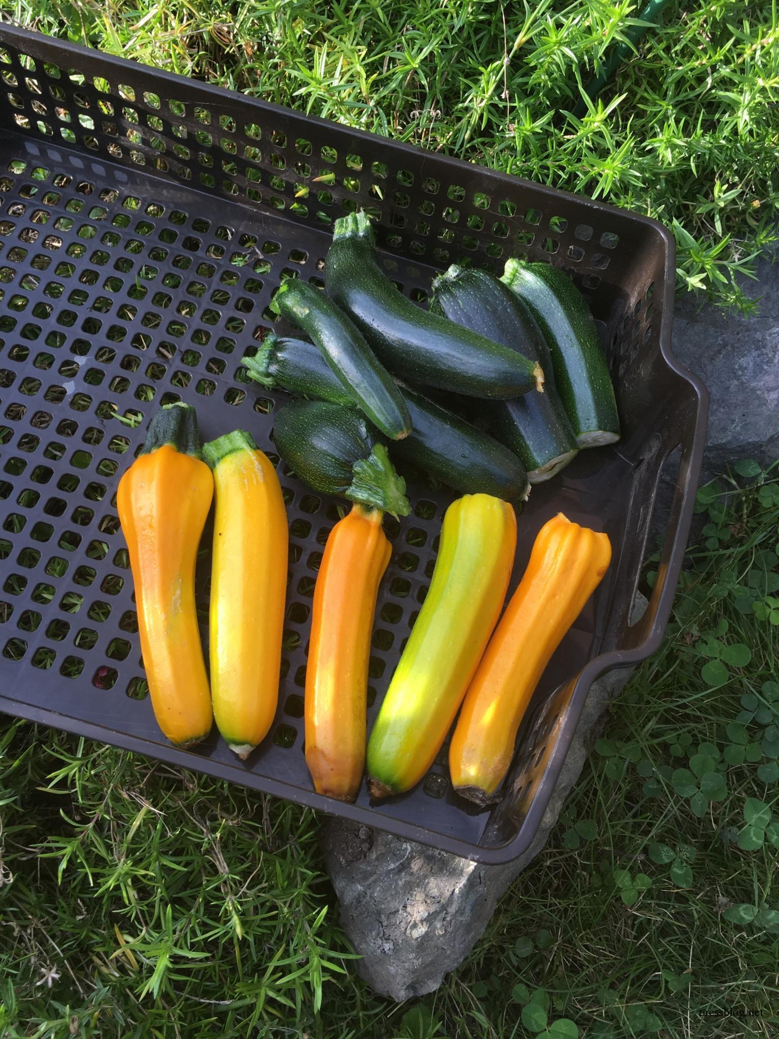 2017/7月の菜園日記 レタス、キュウリ、ピーマン収穫期に