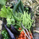 9月の菜園日記 プチトマト大量、秋まきほうれん草スタート