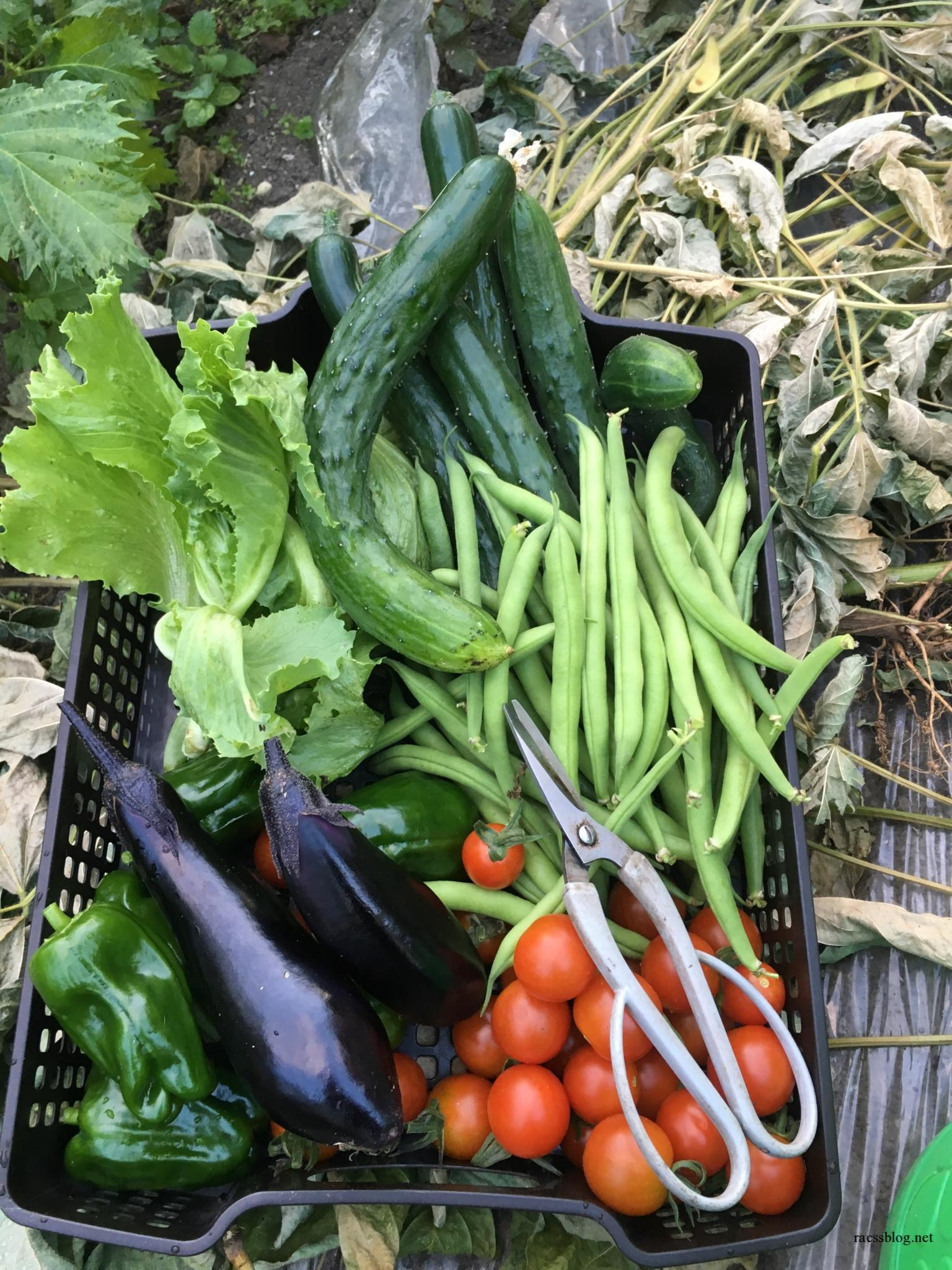 2017/9月の菜園日記 プチトマト大量、秋まきほうれん草スタート