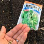 秋まきほうれん草と小松菜の育ち方 in北海道2017・9月からのチャレンジ