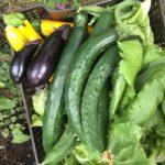 8月の菜園日記 楽しい収穫期