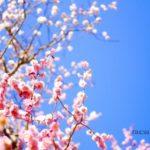 平岡公園の梅林でお花見するならゴールデンウィーク明け。梅ソフトをぜひ。