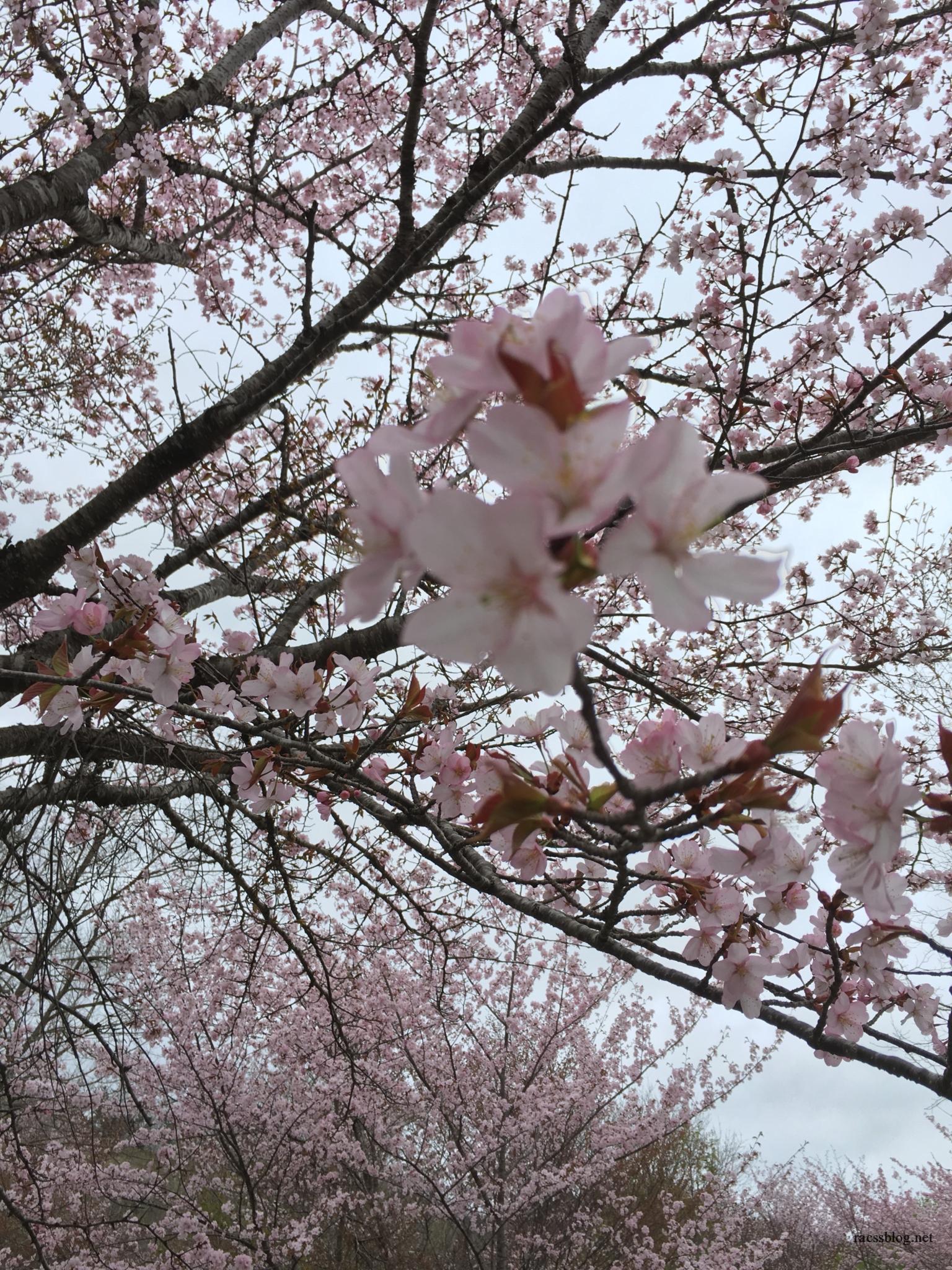 恵庭湖(えにわ湖)桜公園でお花見なら遅くても間に合う