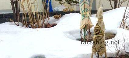 3/26 庭の雪解けと根開き 今年は春が早いかも