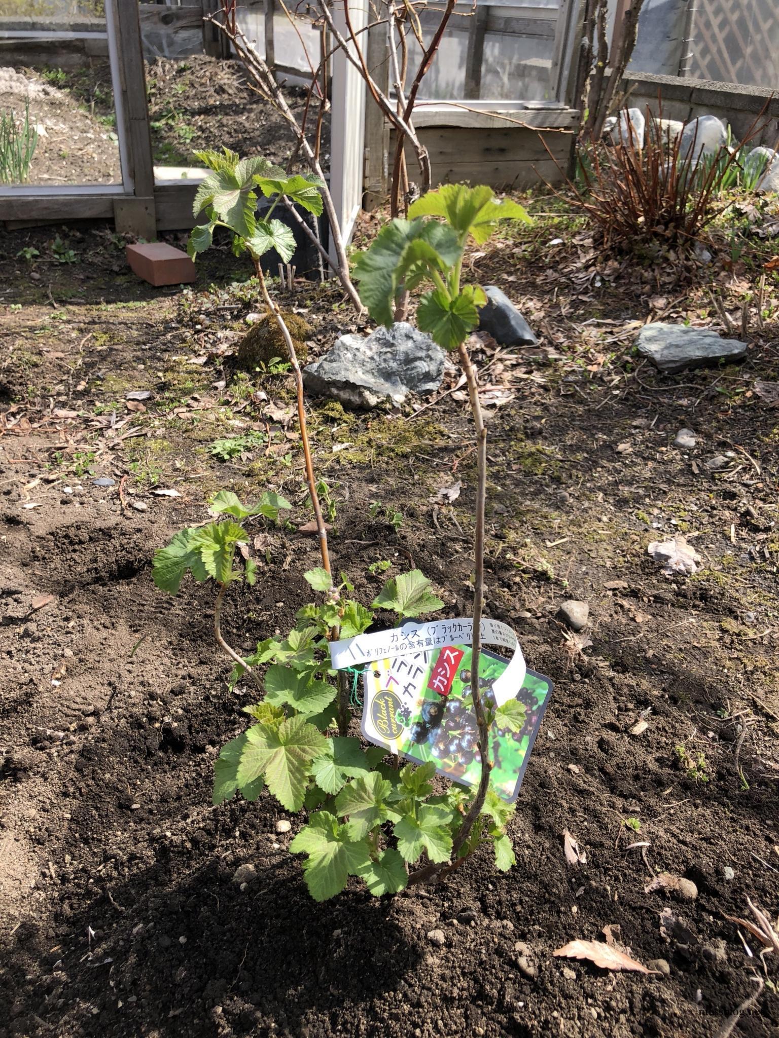 カシス(ブラックカラント)は北海道なら育て方も簡単!地植えしました