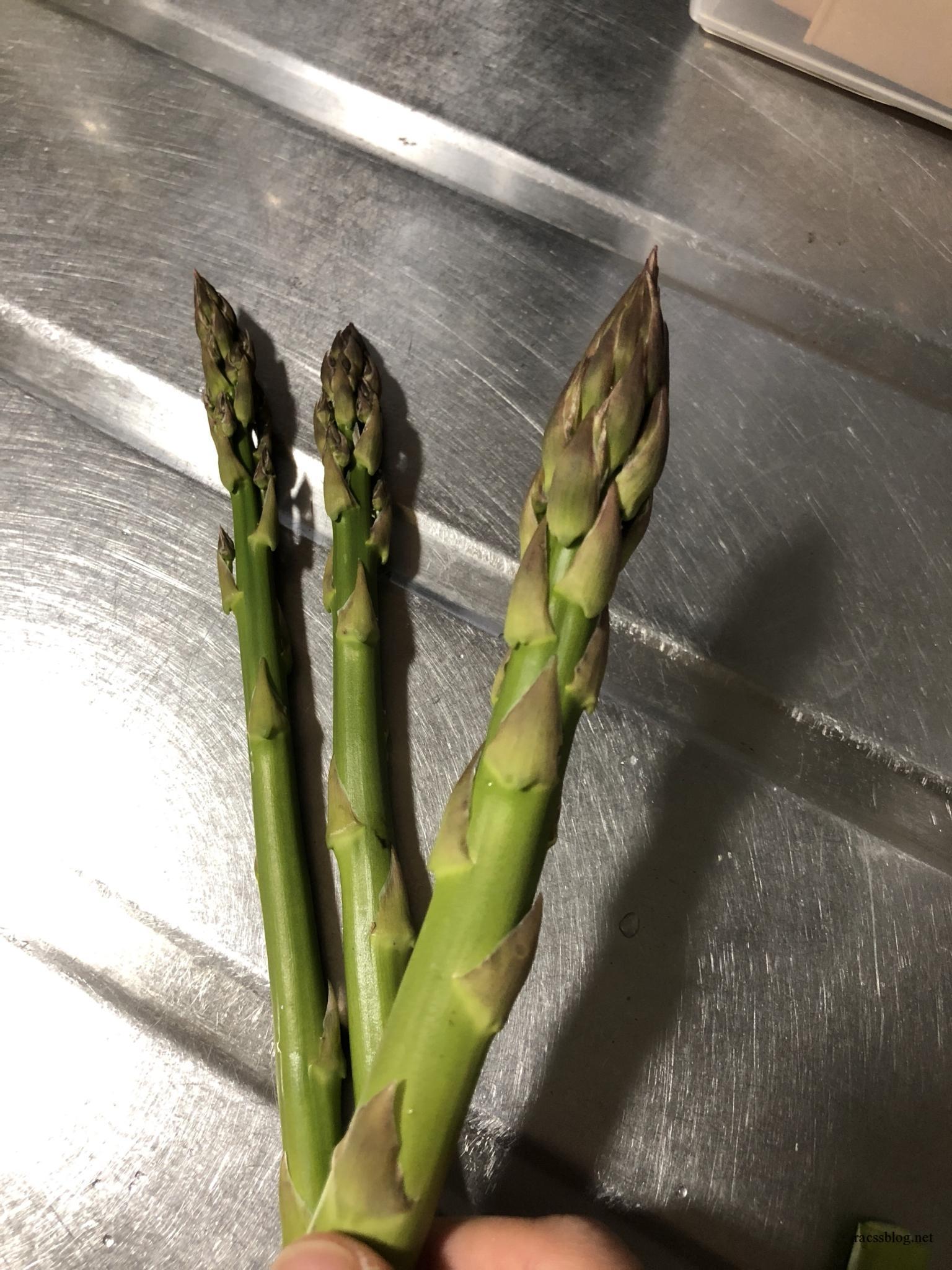 5月の北海道は気温が上がるのをじっと待つ&ウドとアスパラ収穫期