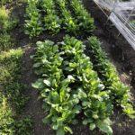 6月は家庭菜園成長期!間引き菜を味わう