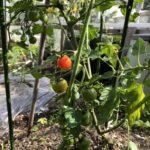 7月の家庭菜園|ほうれん草の跡地でカブを育てる