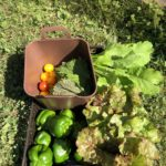 8月の家庭菜園|ピーマン好調キュウリ絶不調
