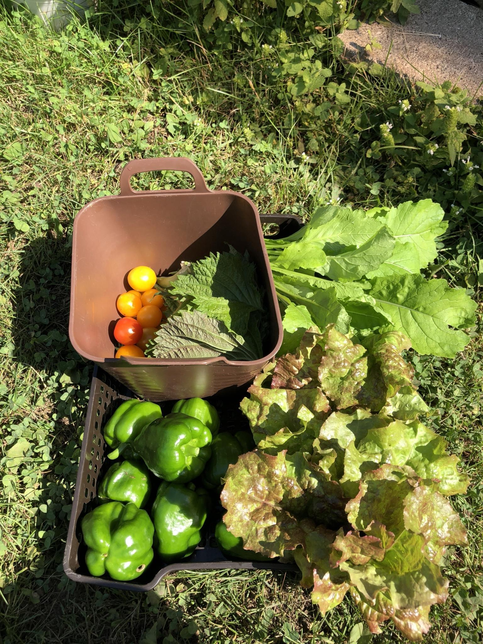 8月の家庭菜園|ピーマン好調キュウリ絶不調(8/24更新