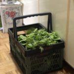 野菜の収穫にカインズホームの折り畳みコンテナと100均バスケットが活躍中
