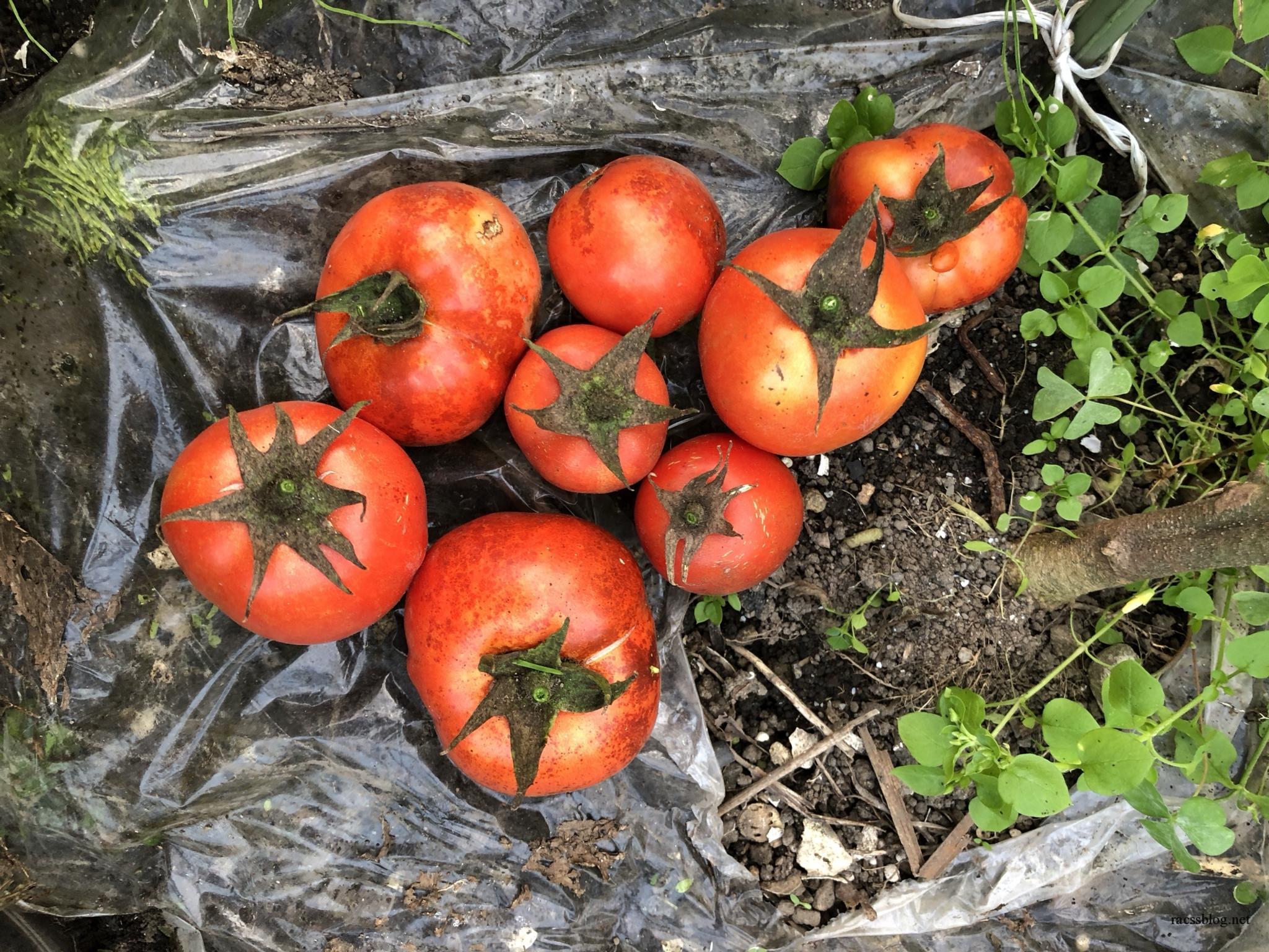 9月の家庭菜園|調理用トマトの美味さにびっくり|台風と地震
