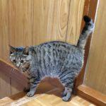 猫のかぎしっぽの種類とは?尾曲猫になる理由を説明します
