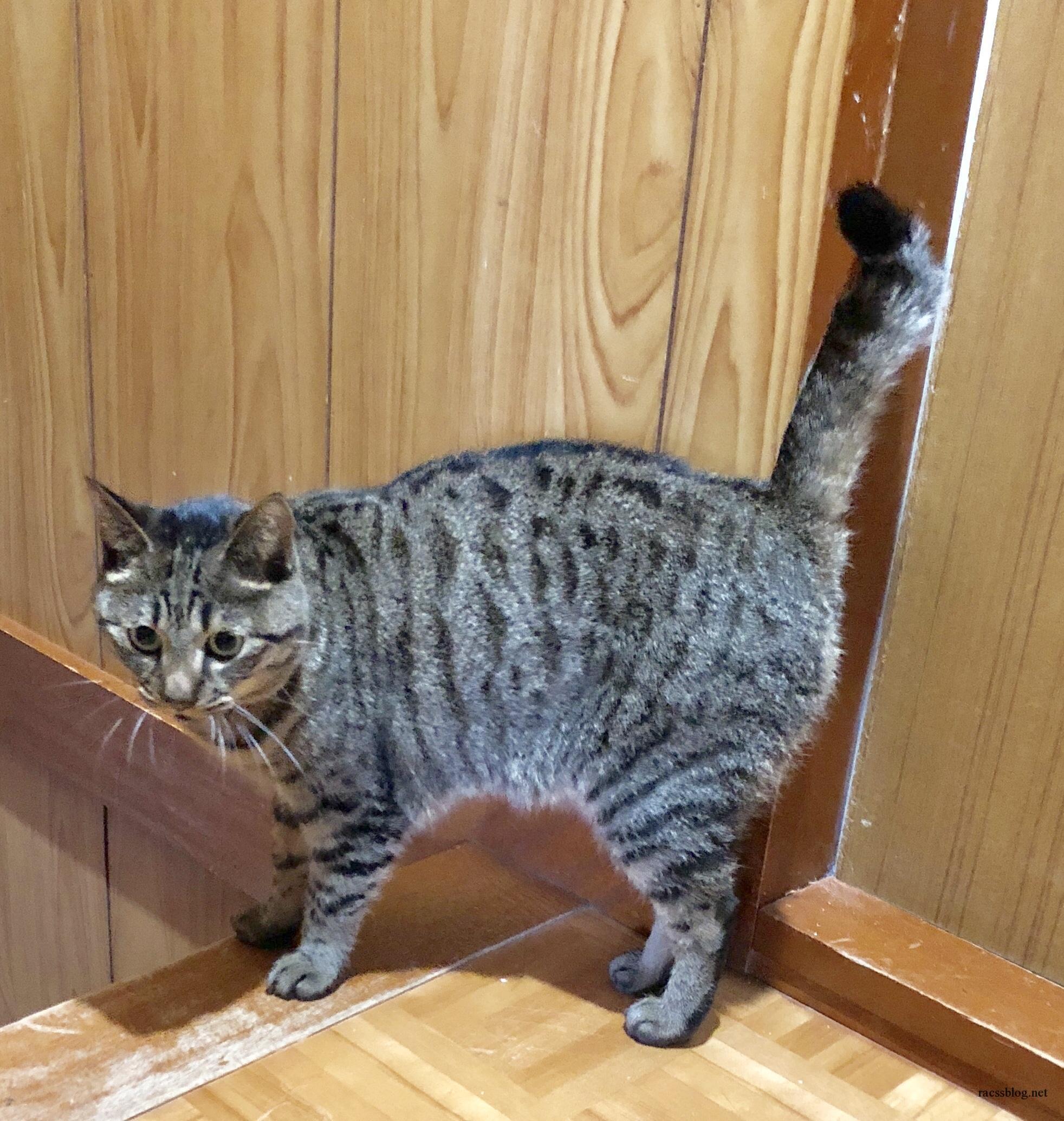 うちの猫はかぎしっぽ!尾曲り猫の原因と種類、日本で愛される理由とは