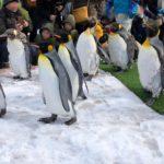 旭山動物園冬の見どころペンギンの散歩(パレード)のおすすめ見学位置はここ!