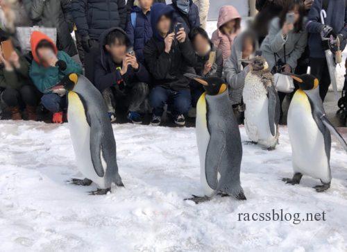 ペンギンの散歩の様子