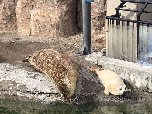 旭山動物園アザラシ赤ちゃん