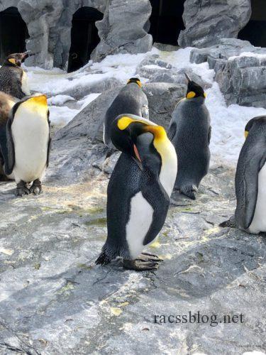 旭山動物園キングペンギンお昼寝