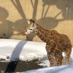 2019旭山動物園レビュー:キリンの赤ちゃんもアザラシの赤ちゃんもいるよ