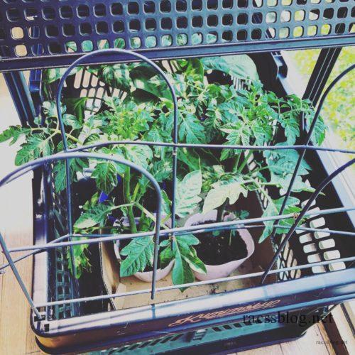 野菜の苗保管中