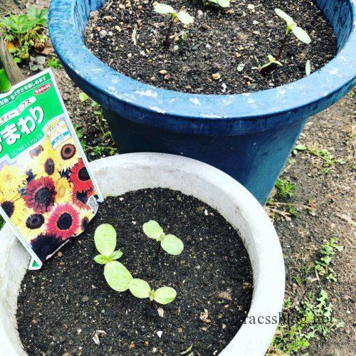 ヒマワリの芽