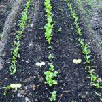 北海道の家庭菜園4月に植えられる野菜とは