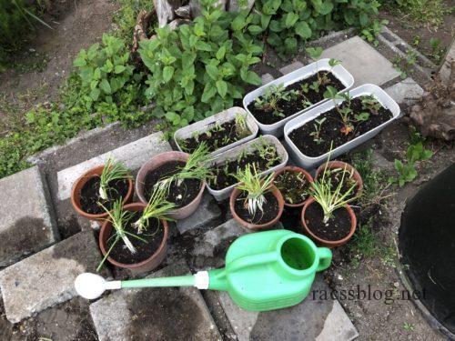 植え替え直後の鉢