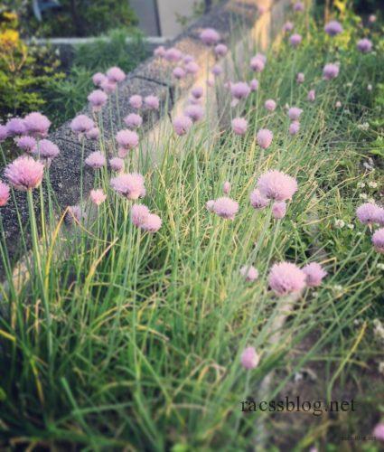 庭のチャイブ