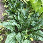 ほうれん草のとう立ちを遅らせるコツと寄居カブの美味しい食べ方|7月前半の家庭菜園をインスタ画像で振り返る