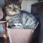 今日の猫写真|無理やりバケツに入るキジトラのモコ