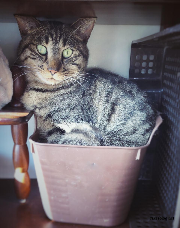 【猫写真】無理やりバケツに入るキジトラのモコ|猫は狭いところが好き