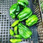 ピーマンあきの2株で収穫量多く大満足です|2019家庭菜園のピーマンとシシトウ