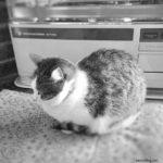 今日の猫写真|ストーブ前占拠のキジ白のマミちゃん|ストーブねこ