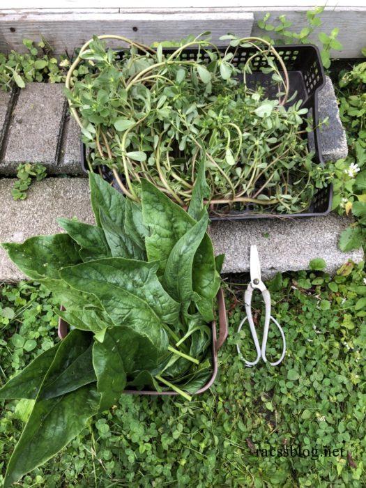 スベリヒユは食用雑草です