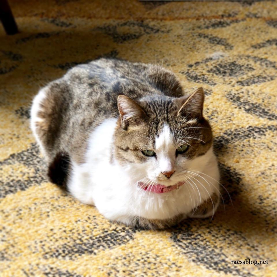 絨毯の上で香箱座りする猫