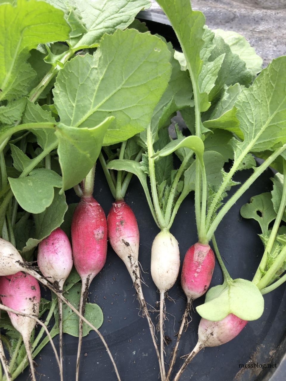 今日の菜園:間引き収穫のラディッシュ、ウドの芽、ニラ