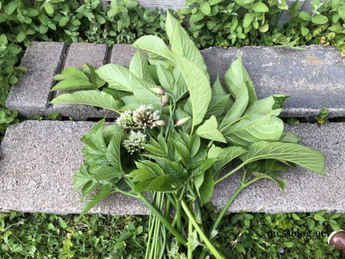 家庭菜園のウド摘芯