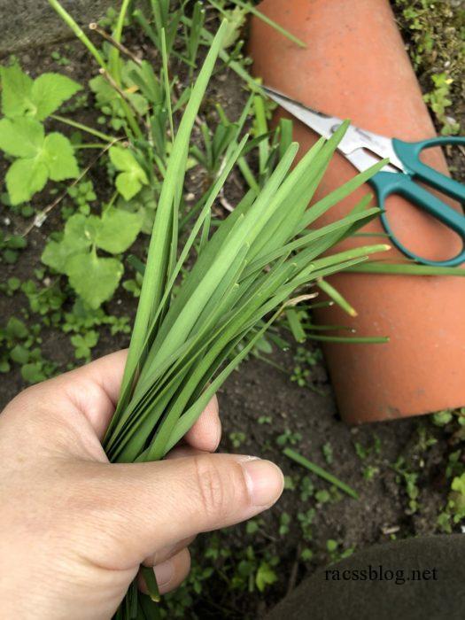 家庭菜園ニラを収穫