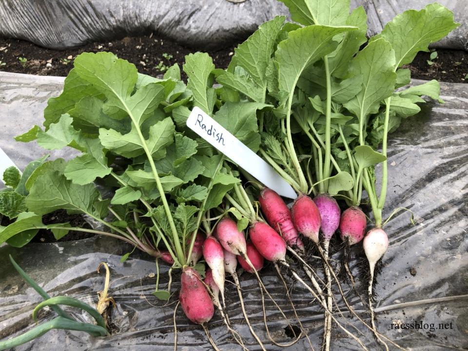 家庭菜園のラディッシュ栽培
