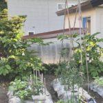 今日の菜園:トマト支柱、きゅうりネット設置