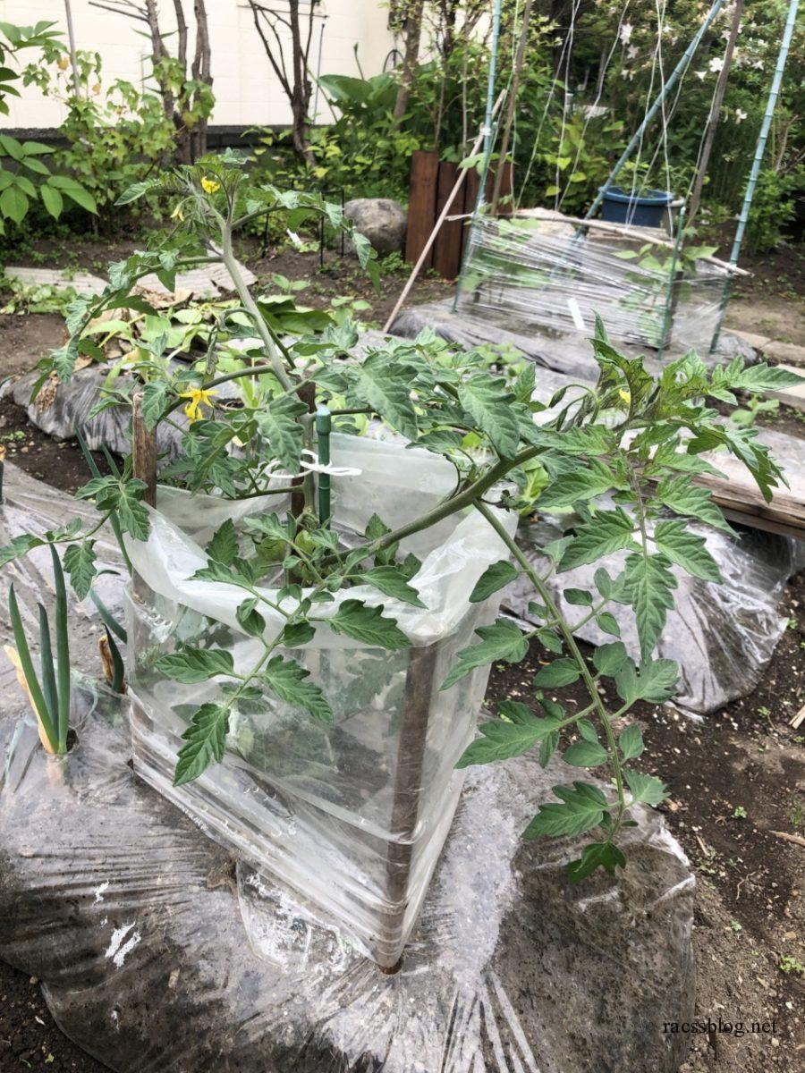 中玉トマトフルティカの栽培