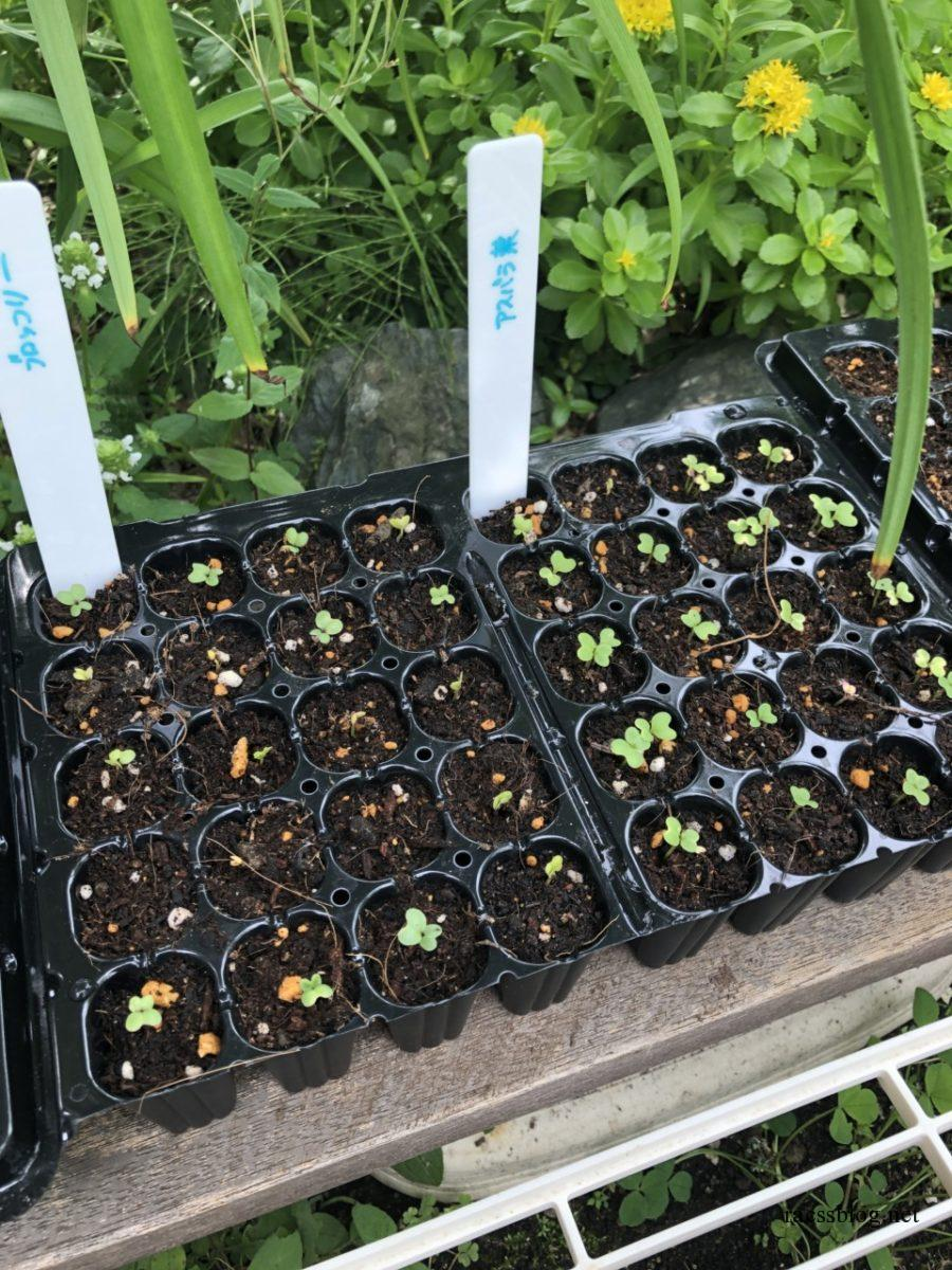 ブロッコリーとアスパラ菜発芽
